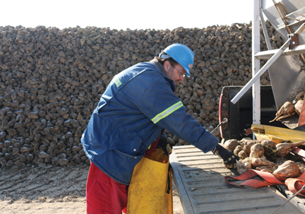 Greg Clark, who operated a tare truck during the Burdett/Bow Island sugar beet harvest, bags up some sugar beets that will be sent to be sampled.