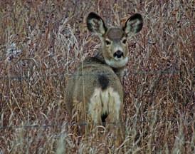 120815Comm-oh deer