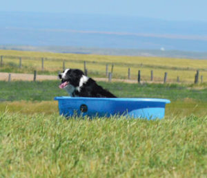 Nick the Sheepdog enjoys a well deserved cold soak after successfully completing his round at the Cypress Hills Sheepdog Trial on July 24.