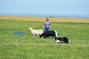 Photo by Tim Kalinowski Cypress Hills Sheepdog Trial organizer Chris Jobe and her dog Gwen compete on July 24.