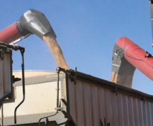 Photo by Jamie Rieger- The grain truck quickly gets filled.