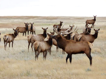 PHOTO COURTESY OF CFB SUFFIELD - CFB Suffield will be staggering its elk hunt this year to put less pressure on the range, while at the same time opening up previously unhunted areas of the base to thin herds out of sensitive wildlife areas.